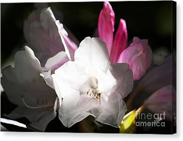 The Rhododendron Forest C Canvas Print by Jennifer Apffel