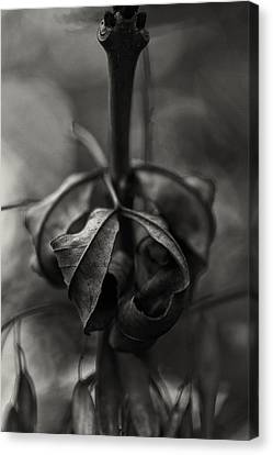 The Rolled Leaf Canvas Print by Andreas Levi