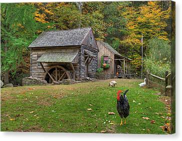 The Rooster Rules Canvas Print by William Jobes