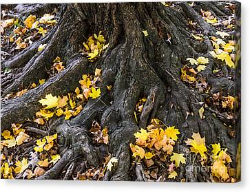 Tree Roots Canvas Print - The Root Of It All by Debra Martz