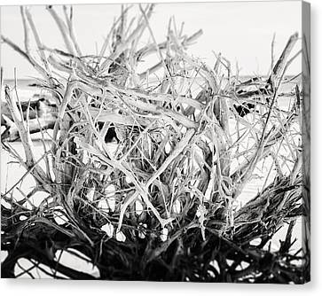The Roots In Black And White Canvas Print by Lisa Russo