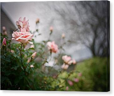 Knockout Canvas Print - The Rose Garden by Linda Unger