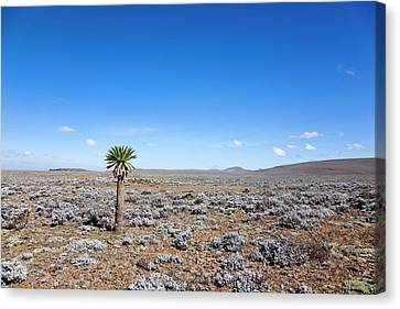 The Sanetti Plateau, Bale Mountains Canvas Print by Martin Zwick