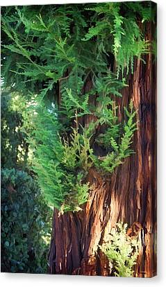 The Scent Of Cedar Canvas Print