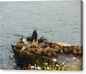 The Sea Lion And His Harem Canvas Print by Mary Machare