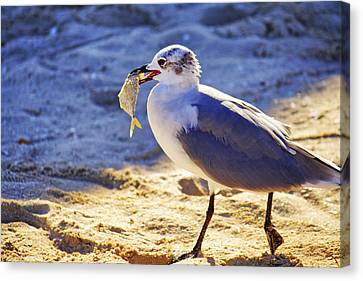 The Seagull And His Sand-crusted Fish 2 Of 3 Canvas Print