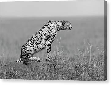 Cheetah Canvas Print - The Sentinel by Marco Pozzi