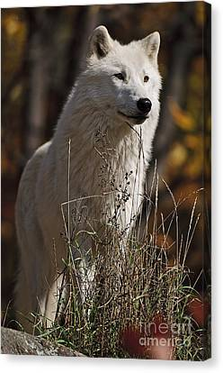 Canvas Print featuring the photograph The Sentinel by Wolves Only