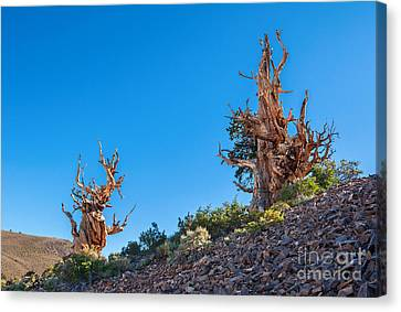 The Sentinels - Ancient Bristlecone Pine Forest. Canvas Print by Jamie Pham