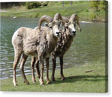 The Shaggy Twins Canvas Print by Janet Ashworth