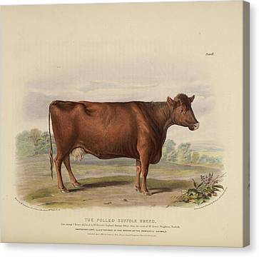 The Sheeted Breed Of Somersetshire Canvas Print