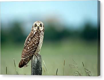 The Short-eared Owl  Canvas Print