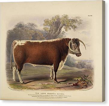 The Short Horned Breed Canvas Print