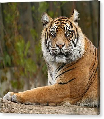 The Siberian Tiger Animal Canvas Print by Boon Mee