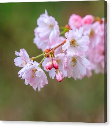The Softness Of Spring Canvas Print