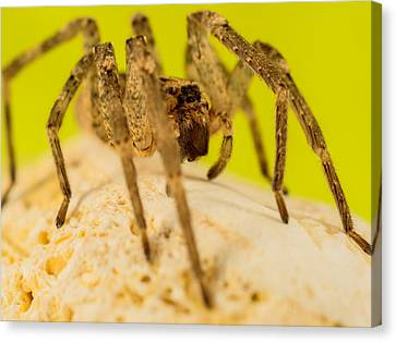 The Spider Series Iv Canvas Print by Marco Oliveira