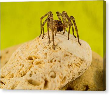 The Spider Series Vi Canvas Print by Marco Oliveira