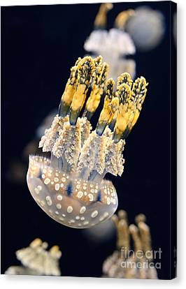 The Spotted Jelly Or Lagoon Jelly Mastigias Papua Canvas Print by Jamie Pham