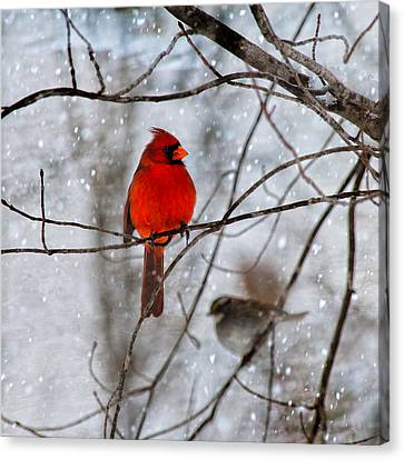 Blue Eyes In The Snow Cardinal  Canvas Print