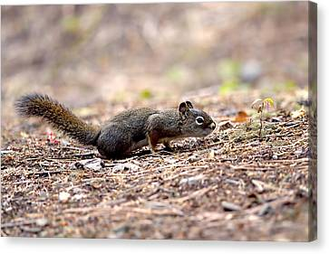The Squirrel And The Seedling Canvas Print by Sharon Talson