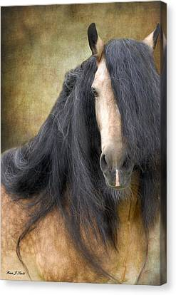 The Stallion Canvas Print by Fran J Scott