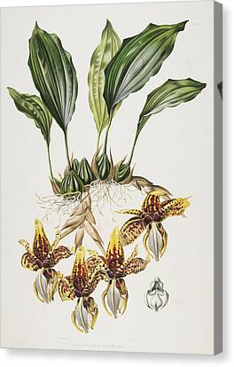 The Stanhope Tiger Orchid Canvas Print by Maxim Gauci