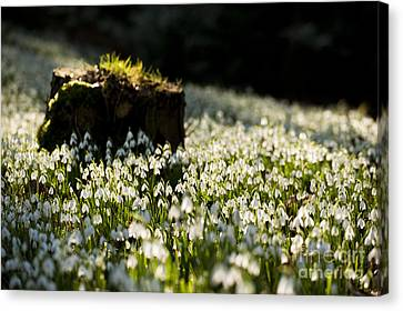 The Stump And The Snowdrops Canvas Print by Anne Gilbert
