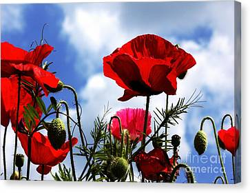 The Summer Poppy Canvas Print by Stephen Melia
