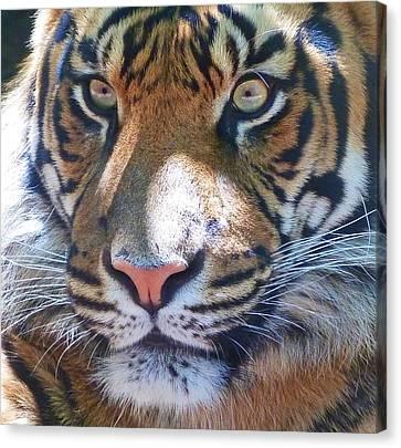 The Superb Sumatran Tiger Canvas Print by Margaret Saheed