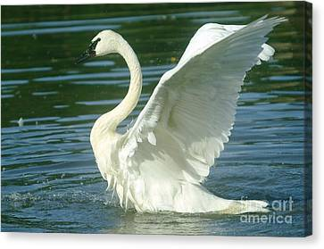 The Swan Rises  Canvas Print by Jeff Swan