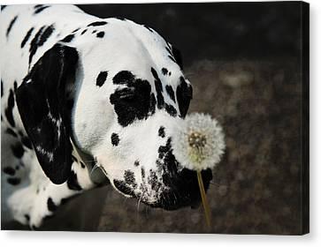 The Tender Soul Of Dalmation. Kokkie. Dalmation Dog Canvas Print by Jenny Rainbow