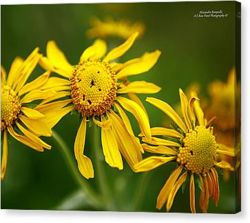 The Three Amigos Canvas Print by Alexandra  Rampolla