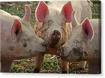 The Three Little Pigs Canvas Print by Steven  Michael