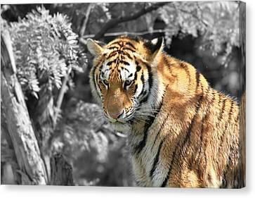 The Tiger Hunt Canvas Print - The Tiger by Dan Sproul