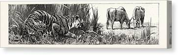 The Tiger Selects A Cow Canvas Print by English School
