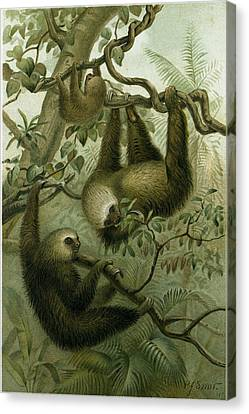The Two-toed Sloth Canvas Print by English School