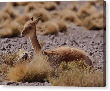 The Vicuna Is One Of Two Wild South Canvas Print by Mallorie Ostrowitz