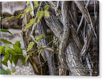 Canvas Print featuring the photograph The Vines by Amber Kresge