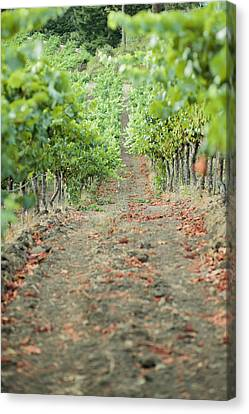The Vines Canvas Print by Ariane Moshayedi