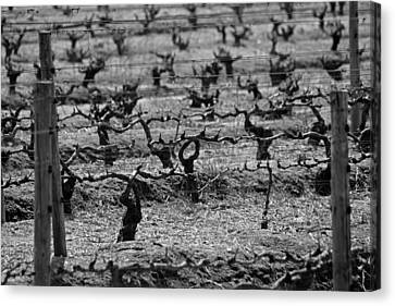 The Vineyard Canvas Print by Chris Whittle