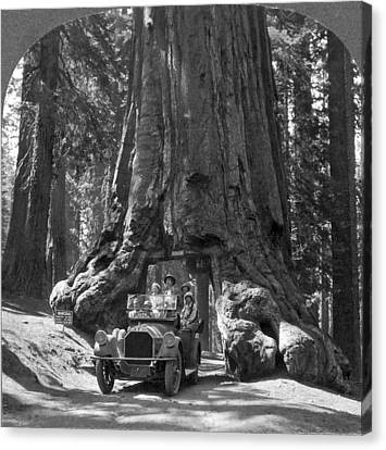 Giant Sequoia Canvas Print - The Wawona Giant Sequoia Tree by Underwood Archives
