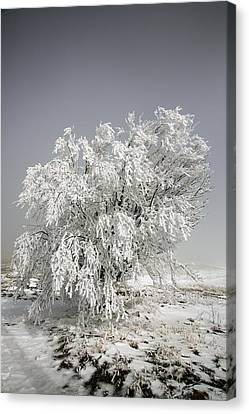 The Weight Of Winter Canvas Print by John Haldane