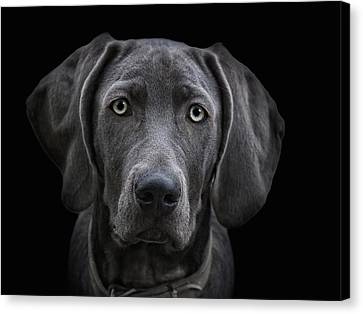 The Weimaraner Canvas Print by Joachim G Pinkawa