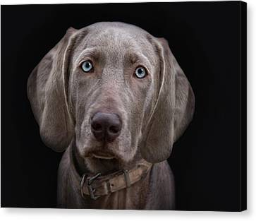 The Weimaraners Sister Canvas Print by Joachim G Pinkawa