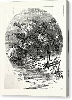 The Whale-headed Stork Canvas Print by English School