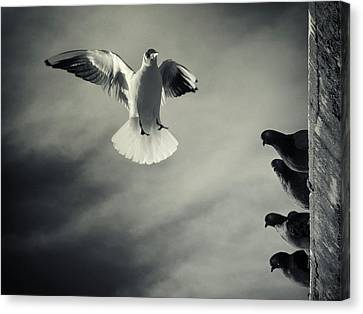 Flying Seagull Canvas Print - The White And The Blacks by Marco Bianchetti