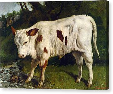 The White Calf Canvas Print