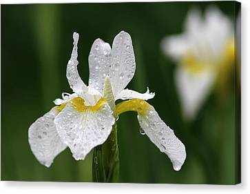 The White Iris Canvas Print by Juergen Roth