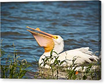 The White Pelican Canvas Print by Robert Frederick