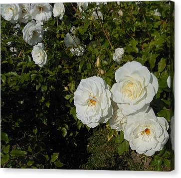 The White Rose Is A Dove Canvas Print by Kay Gilley
